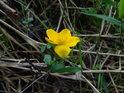 Blatouch oživí svojí sytou žlutí spíše temné břehy Chrudimky nad přehradou Hamry.