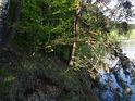Prudký skalní sráz na pravém břehu údolní nádrže Seč zpevňuje i narušuje několik druhů stromů.