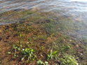 Čerstvě zatopená tráva údolní nádrže Seč pod Ústupky.